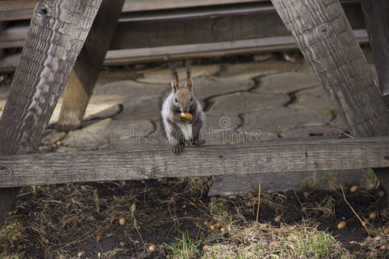 灰色灰鼠会集并且吃橡子 自转本质上 动物饲养 免版税库存照片