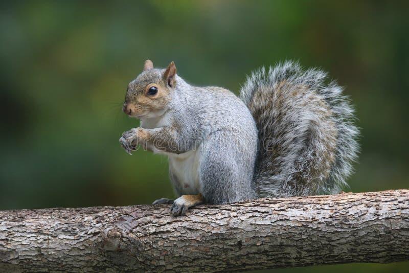 灰色灰鼠坐在秋天的一个分支 免版税库存照片