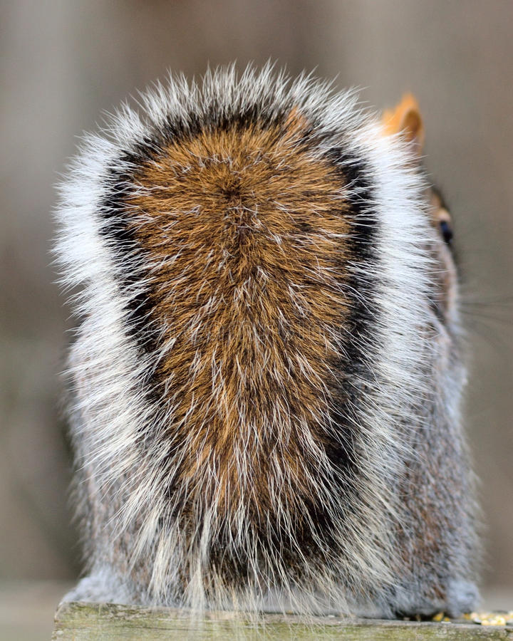 灰色灰鼠尾标 免版税库存照片
