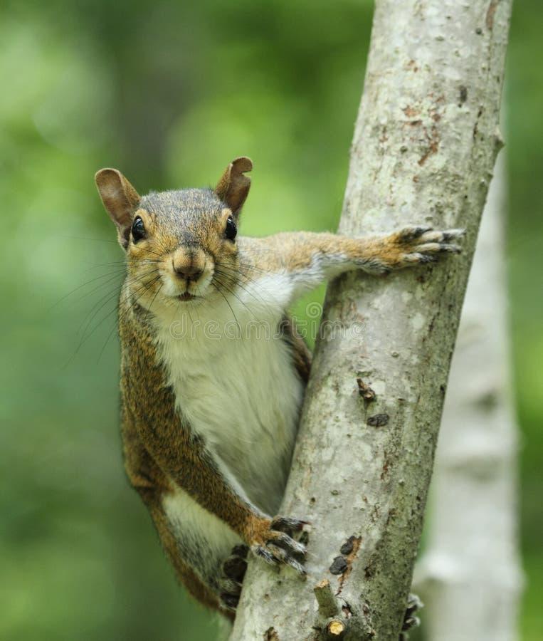 灰色灰鼠树干 图库摄影