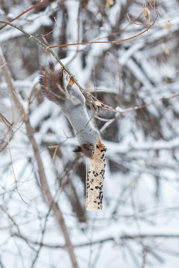 灰色灰鼠画象在冬天公园, 免版税库存图片