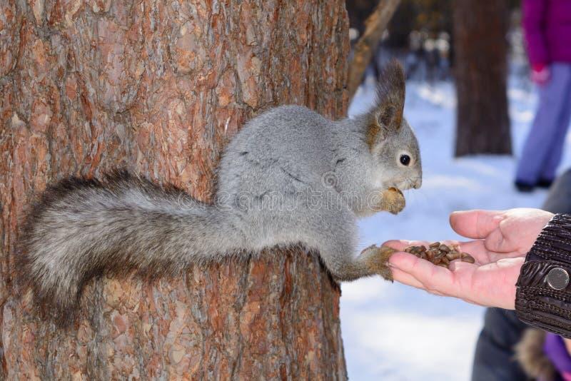 灰色灰鼠紧贴对一根杉木树干在冬天公园并且吃从一只手的坚果在俄罗斯南乌拉尔 图库摄影