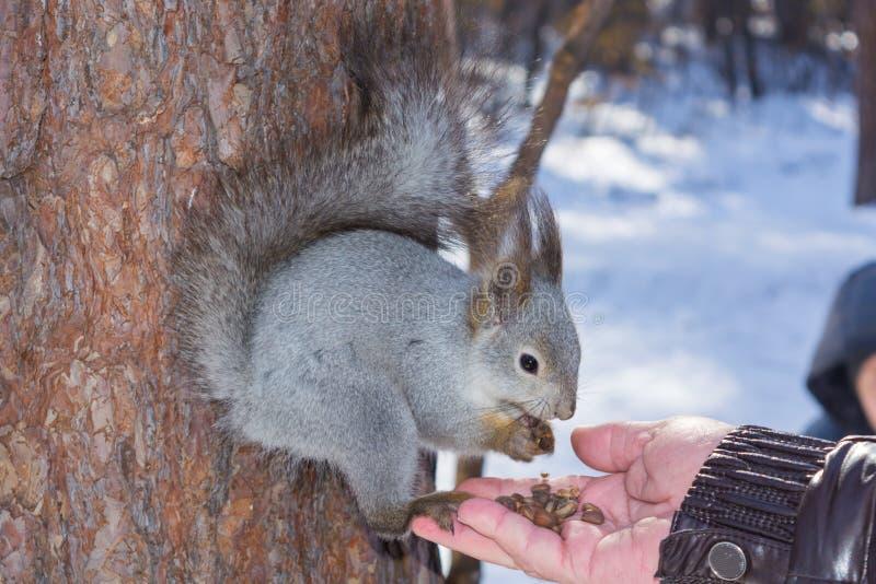 灰色灰鼠紧贴对一根杉木树干在冬天公园并且吃从一只手的坚果在俄罗斯南乌拉尔 免版税库存图片