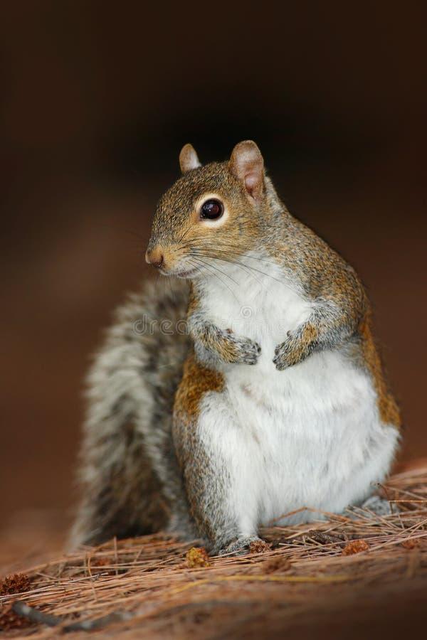 灰色灰鼠,中型松鼠carolinensis,在黑褐色森林逗人喜爱的动物在自然栖所 灰色灰鼠在草甸与 图库摄影