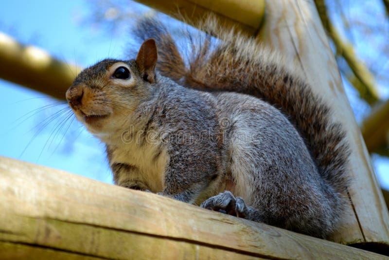 灰色灰鼠从上面 免版税库存图片