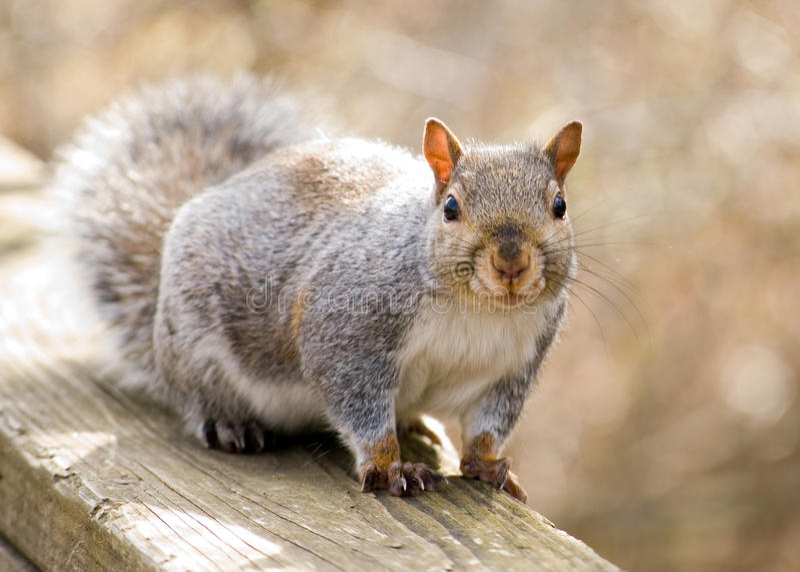 灰色灰鼠 免版税库存图片