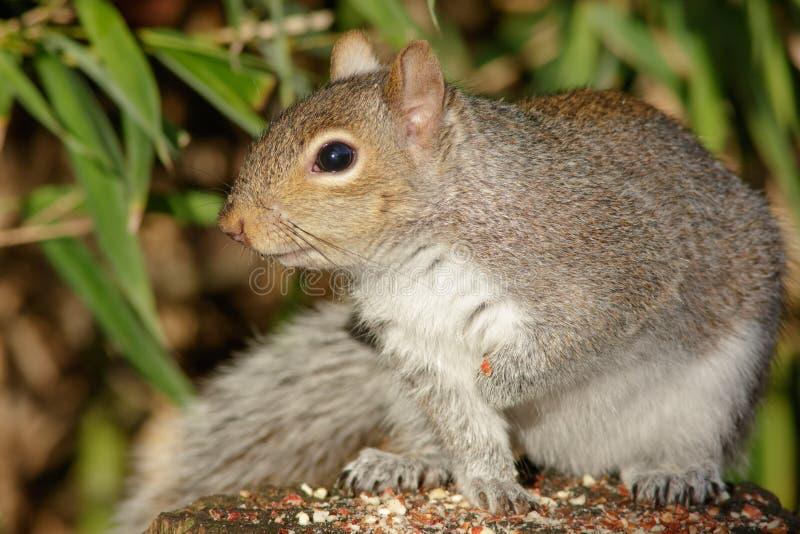 灰色灰鼠 库存照片