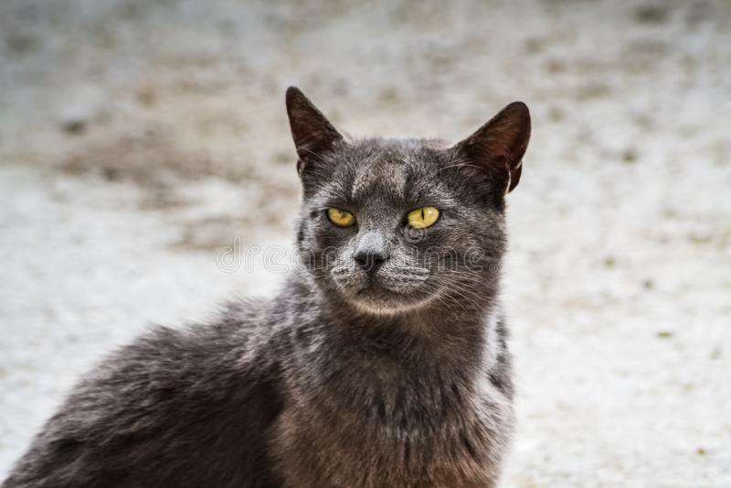 灰色猫和恼怒的神色 图库摄影
