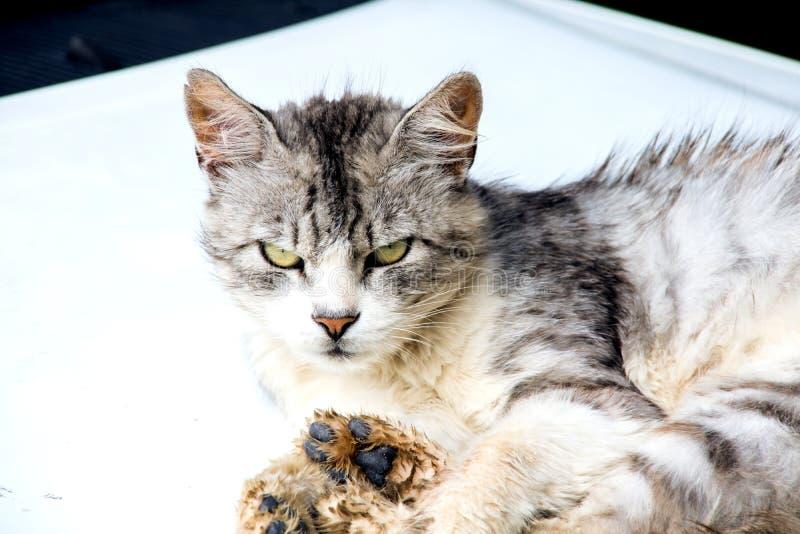灰色猫在白色说谎 免版税库存图片