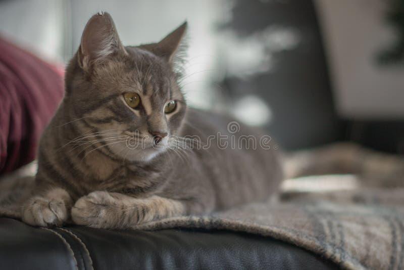 灰色猫坐床 免版税图库摄影