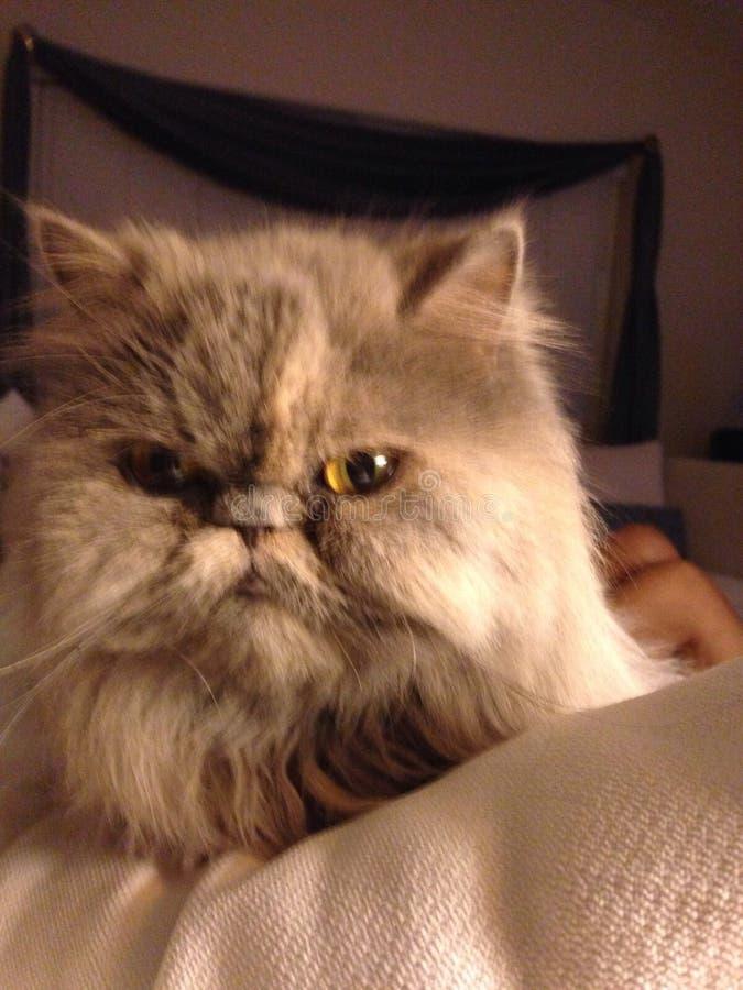 灰色猫波斯语 免版税库存图片