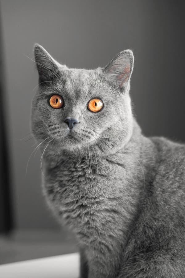 灰色猫特写镜头画象,灰色背景,大黄色眼睛 免版税图库摄影