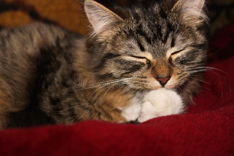 灰色猫舔它的爪子 免版税库存图片