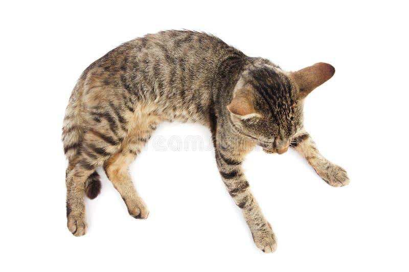 灰色猫说谎 免版税图库摄影
