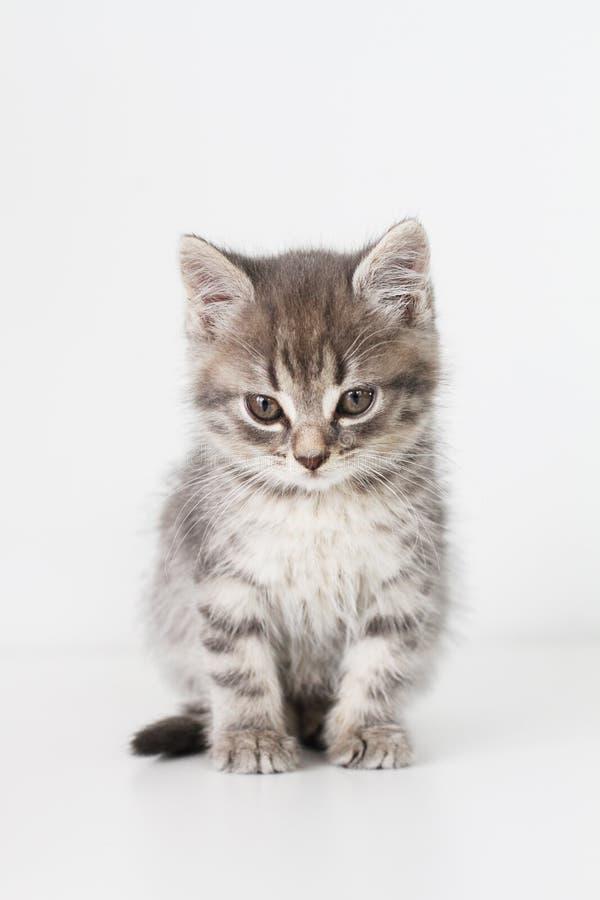 灰色猫 免版税库存图片