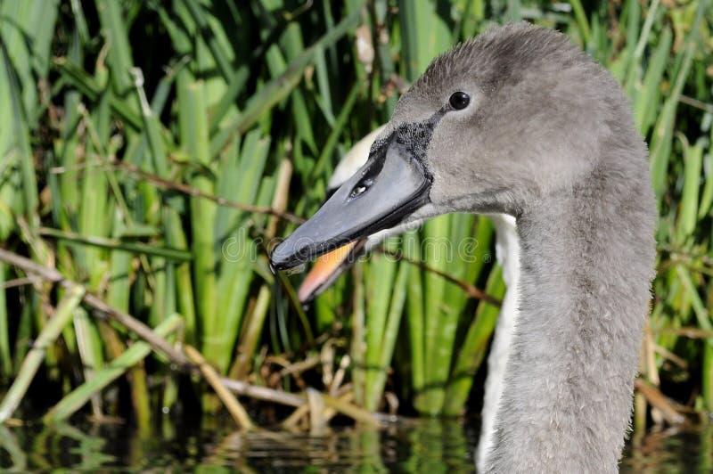 灰色疣鼻天鹅小天鹅 免版税库存照片