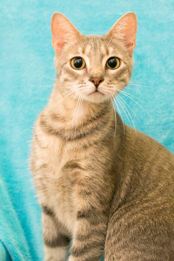 灰色白色虎斑猫 免版税库存照片