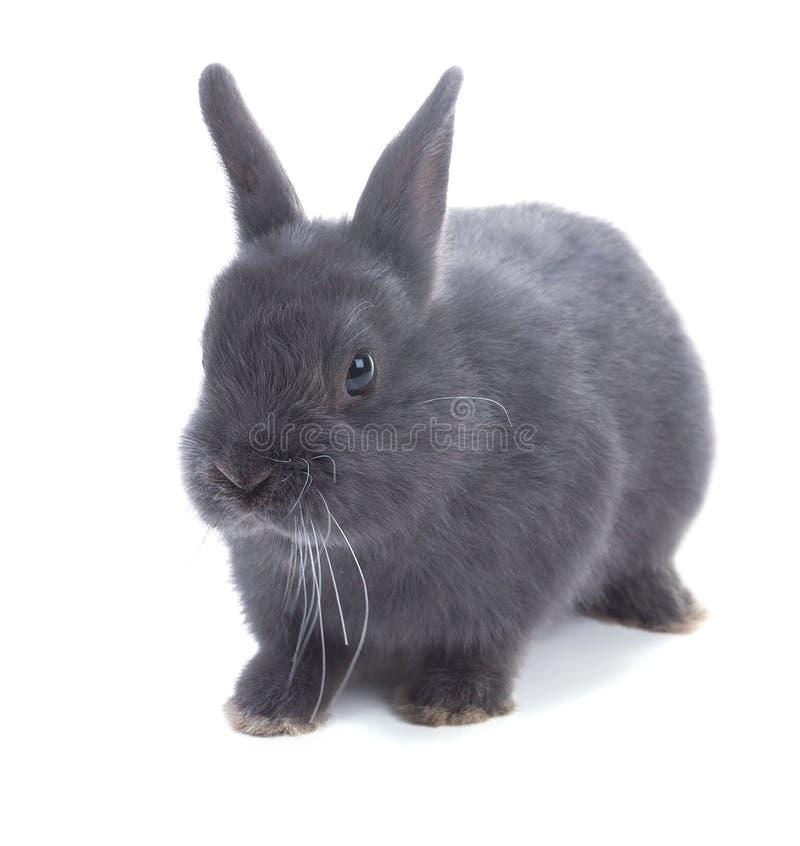 灰色矮小的蓬松兔子 被隔绝的,白色背景 库存图片