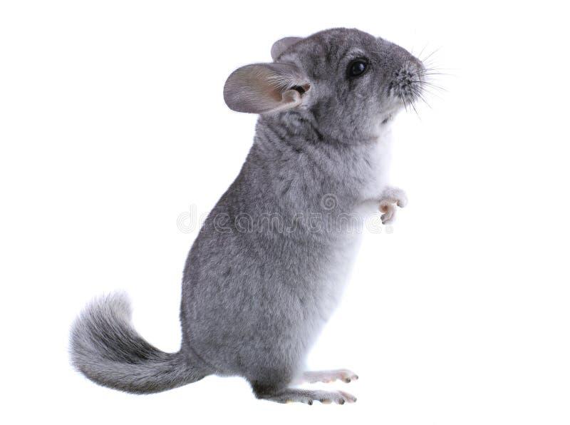 灰色硬橡胶黄鼠 免版税库存图片