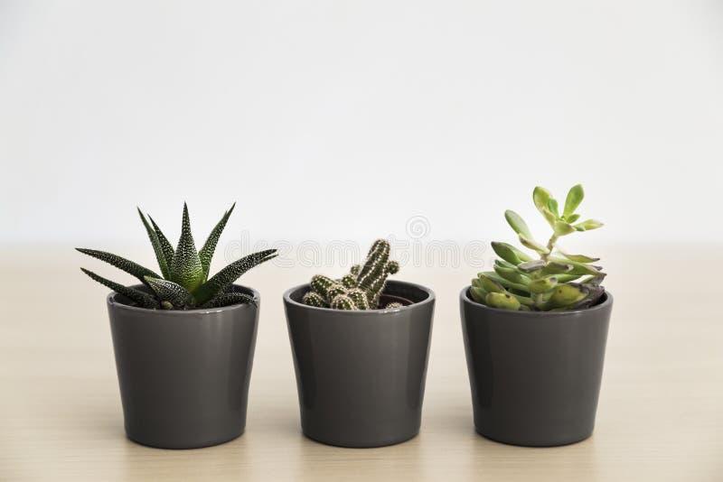 灰色罐的三棵小多汁植物 图库摄影