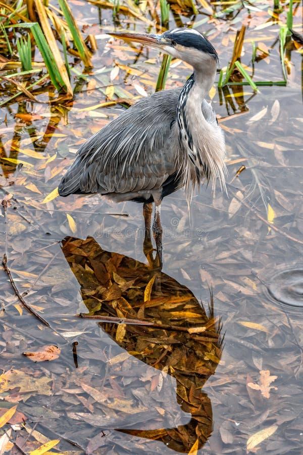 灰色苍鹭和它的阴影在水浮出水面 免版税库存图片