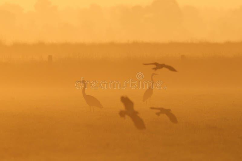 灰色苍鹭和田凫在草甸 图库摄影