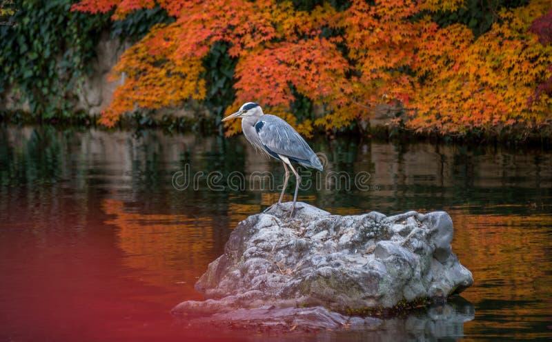 灰色苍鹭在围拢与秋天在Eikando寺庙的颜色季节的池塘 图库摄影