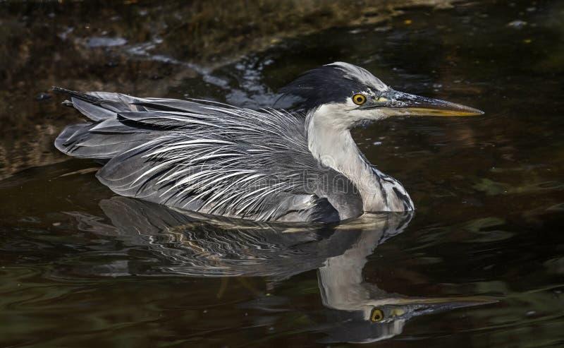 灰色苍鹭在池塘 免版税库存照片