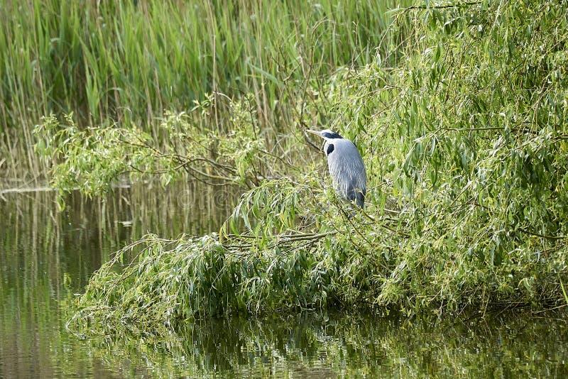 灰色苍鹭在芦苇的池塘站立 免版税库存图片