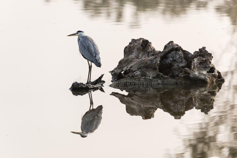 灰色苍鹭在阳光下 库存照片