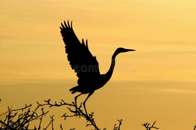 灰色苍鹭在黎明 免版税库存图片