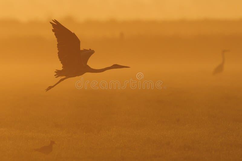 灰色苍鹭飞行在微明下 图库摄影