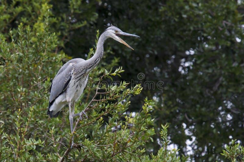 灰色苍鹭-灰质的Ardea 免版税库存照片