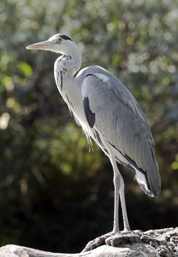 灰色苍鹭 库存照片