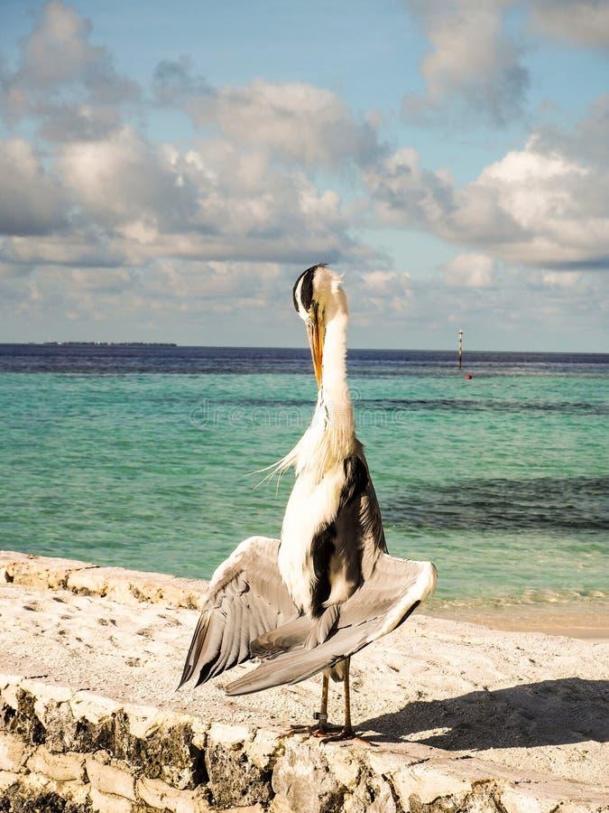 灰色苍鹭Ardea站立在一个海滩的Cinera在马尔代夫d 库存图片