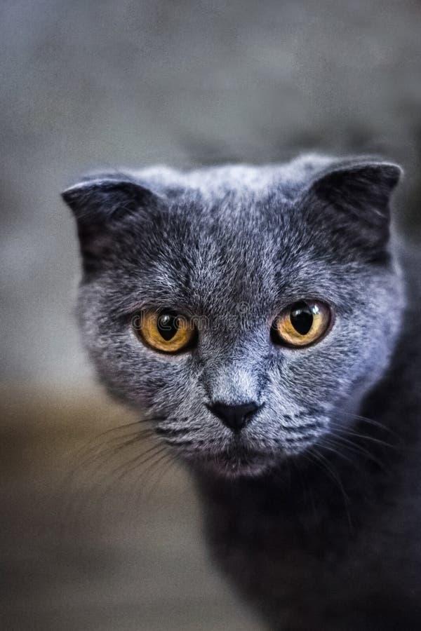 灰色英国猫在绿草的,背景,逗人喜爱的滑稽的猫关闭,在床上的幼小嬉戏的猫,家猫 库存照片