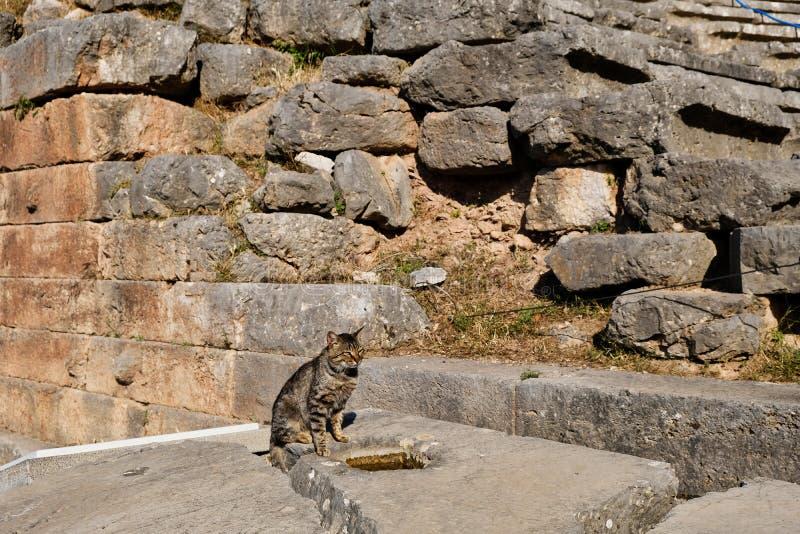 灰色虎斑猫和古希腊废墟,特尔斐,希腊 免版税库存图片