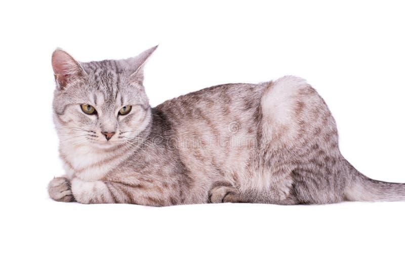 灰色虎斑猫欧洲人 库存图片