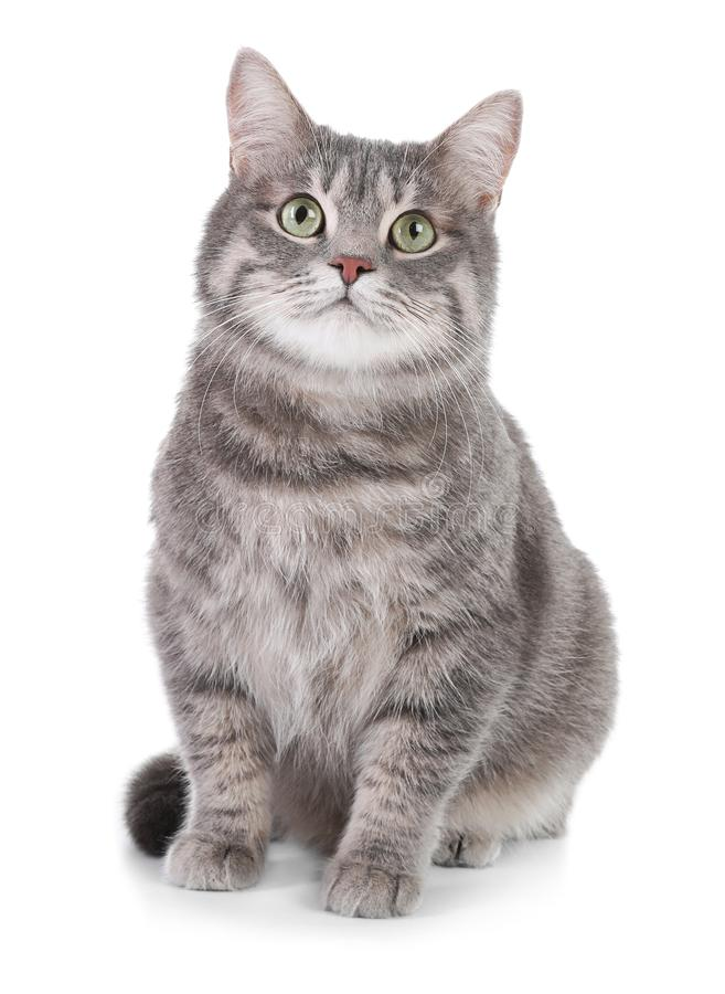 灰色虎斑猫画象在白色背景的 免版税库存照片