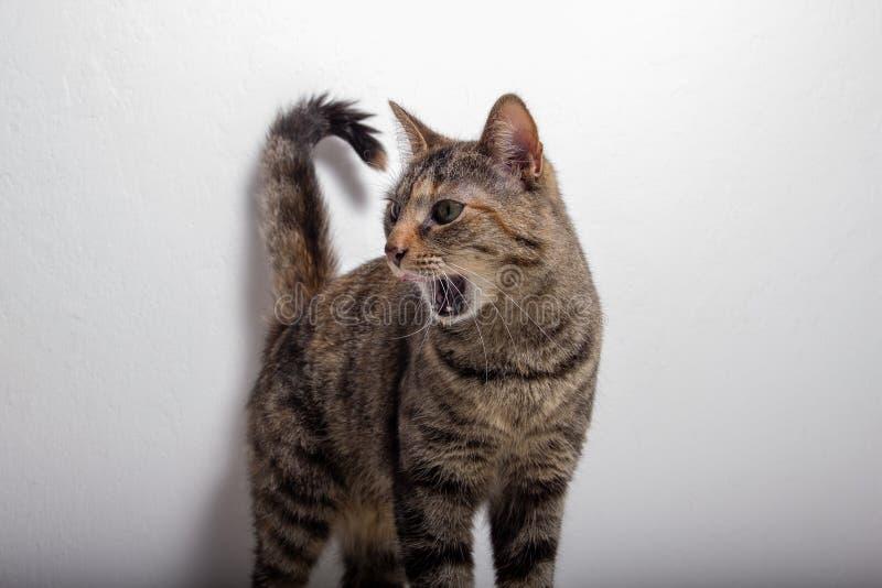 灰色虎斑猫裂口张她的嘴 免版税图库摄影