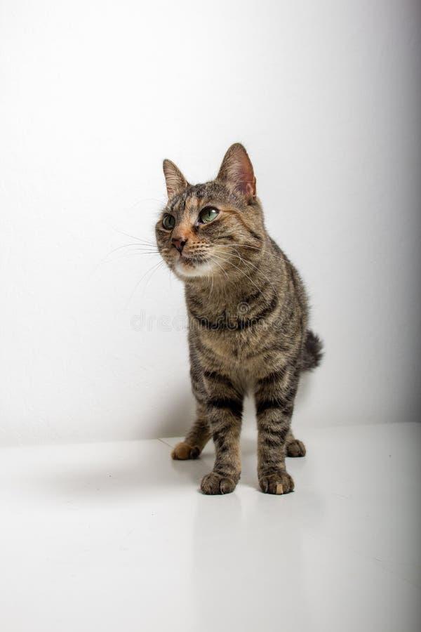 灰色虎斑猫观看某事 免版税库存照片