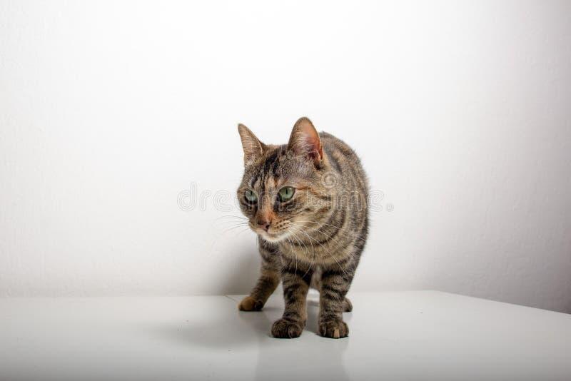灰色虎斑猫观看某事 库存图片