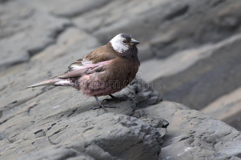 灰色被加冠的玫瑰色雀科坐一个沿海岩石在它的巢附近 库存图片