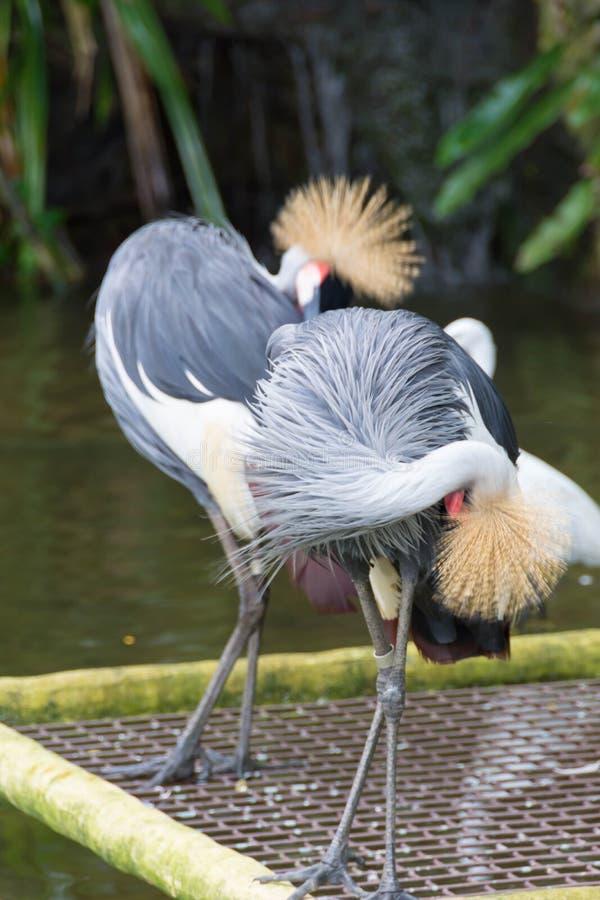 灰色被加冠的起重机是在起重机家庭Gruidae的一只鸟 库存图片