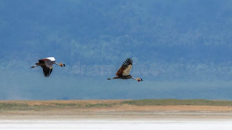 灰色被加冠的起重机,鸟飞行 免版税库存照片