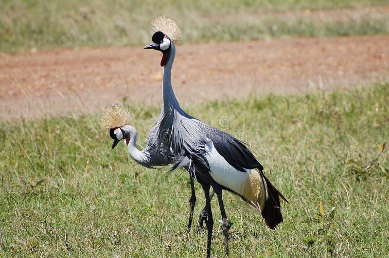 灰色被加冠的起重机-马塞语玛拉-肯尼亚 免版税库存照片