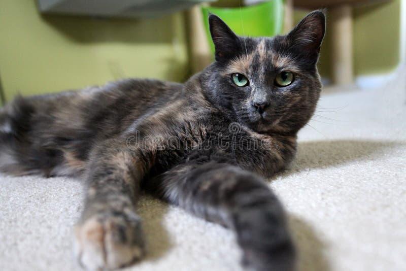 灰色被稀释的Tortie猫 免版税库存图片