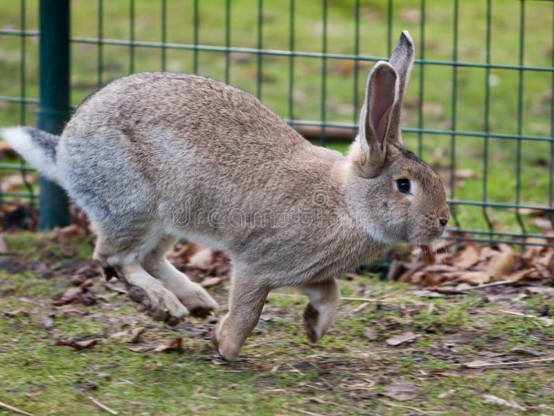 灰色野兔运行中 免版税库存照片