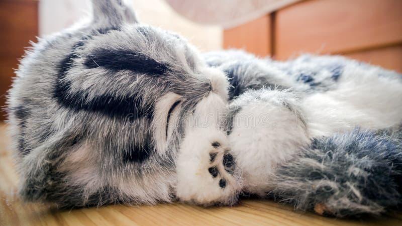 灰色镶边了在地板上的纯血统猫 免版税图库摄影