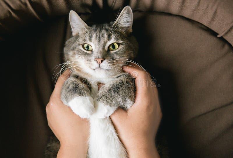 灰色镶边猫用妇女` s手在棕色床上 免版税库存图片